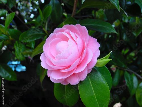 japanese camellia Fototapete