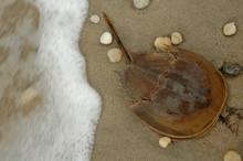 Horseshoe Crab Rushing Water
