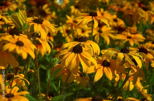 Fotografering  browneyed susans