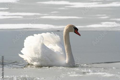 Poster Blanc schwan