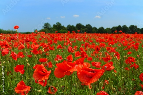 Foto op Canvas Rood traf. poppies field