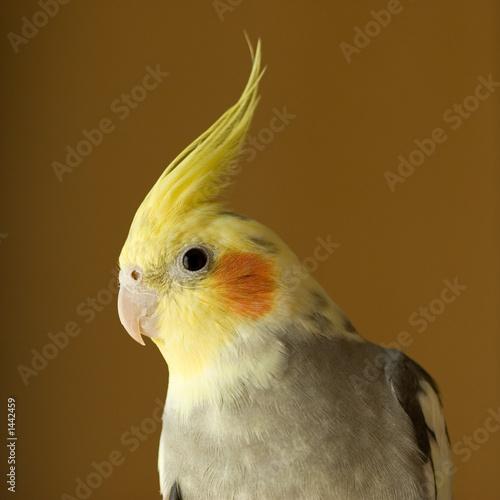 Valokuva  portrait of cockatiel