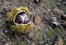 Horsenut