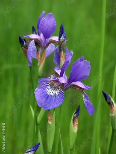 Spoed Foto op Canvas Iris iris