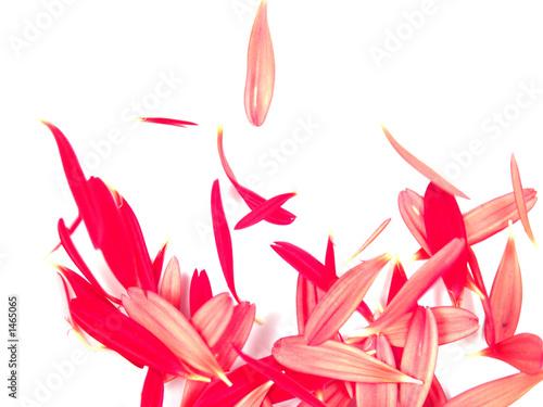 Photo falling gerbera daisy petals background