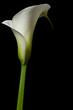 canvas print picture calla lily 14
