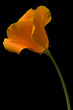 canvas print picture california poppy 1