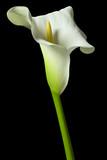 calla lily 18