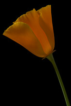 California Poppy 1