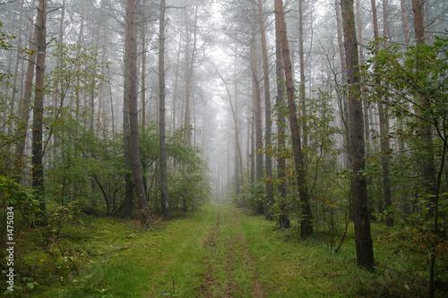 Fototapeten Wald foggy forest in poland