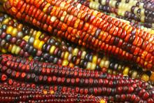 Indian Corn #3