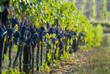 Leinwandbild Motiv lush ripe wine grapes on the vipe