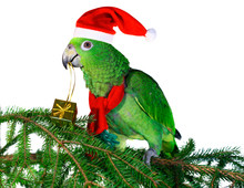 Parrot Santa