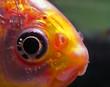 goldfisch makro