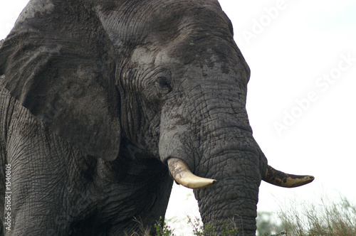 Recess Fitting Elephant african elephant
