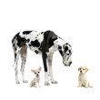 canvas print picture great dane