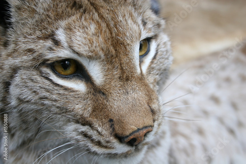 Deurstickers Luipaard linx