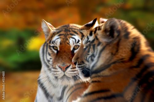 Photo  tiger eyes