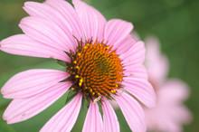 Pink Coneflowers