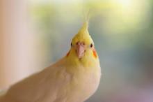 Lupino Cockatiel