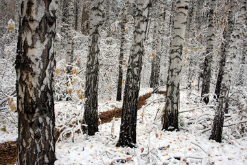 Fototapeta Las birch trees