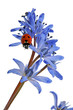 canvas print picture ladybird on a blue snowdrop