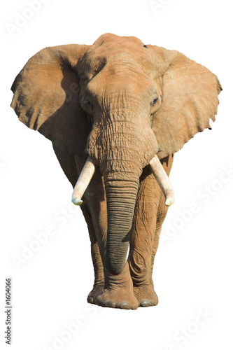 Staande foto Afrika elephant isolated