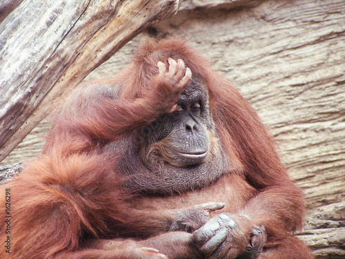 Foto op Aluminium Aap orangutan mother and child monkey
