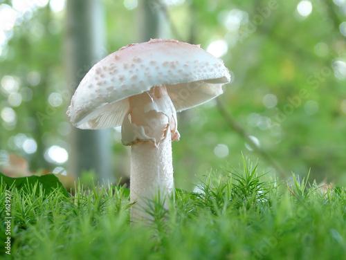 Photo amanita verna mushroom