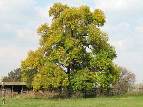black walnut tree - Buy this stock photo and explore similar