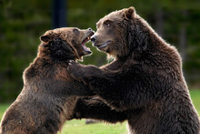 Grizzly Death Match