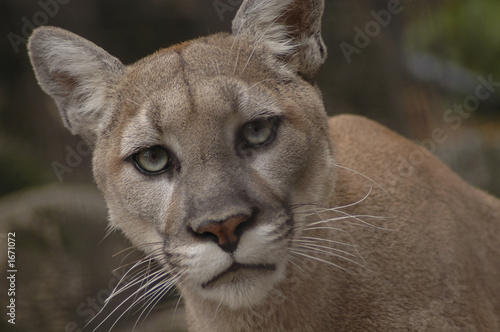Spoed Fotobehang Puma mountain lion 2