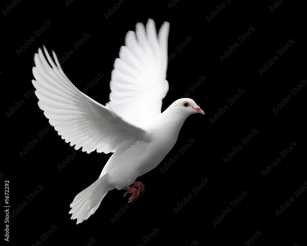 Valokuva  white dove in flight 1