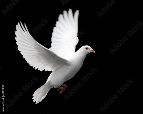 Poster Vogel white dove in flight 1