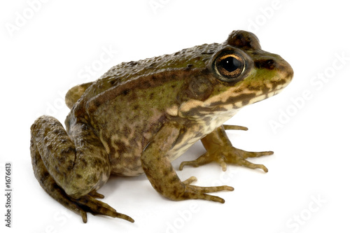 Photo sur Aluminium Grenouille green frog