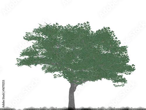 Poster Kaki tree