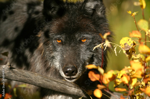 Fényképezés  black wolf