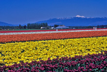 Tulip Fields Of Color 2