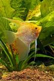 Złoty Skalar w akwarium