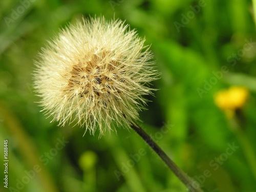 Fototapeta blow-balls of sow-thistle