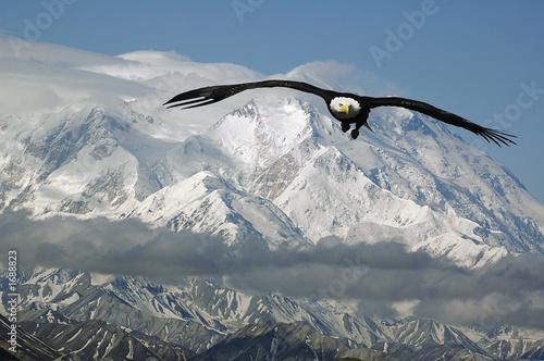 In de dag Eagle bald eagle in mountains