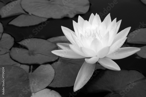 Foto  waterlily in black and white
