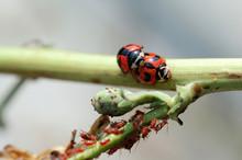 Ladybirds Mating Besides Larvas