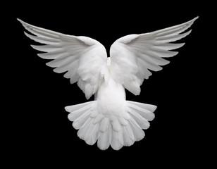 Fototapeta na wymiar white dove in flight 2