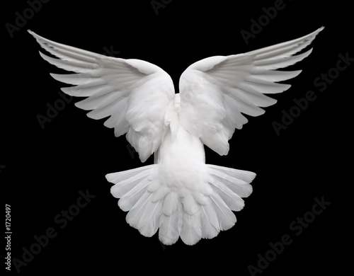 Fototapeta white dove in flight 2