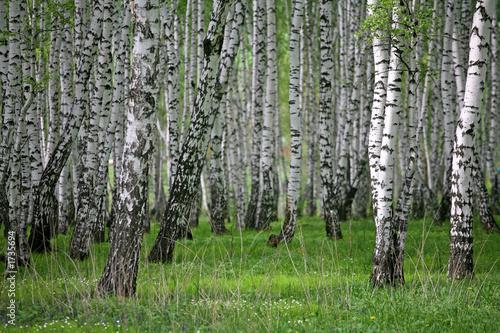 Foto op Plexiglas Berkbosje birch wood