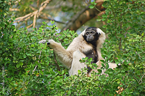 Canvas Print pileated gibbon