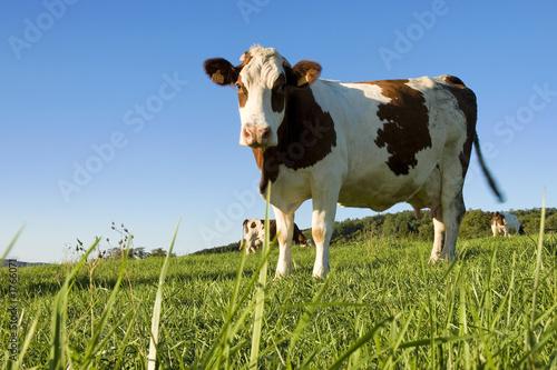 Papiers peints Vache la vache!