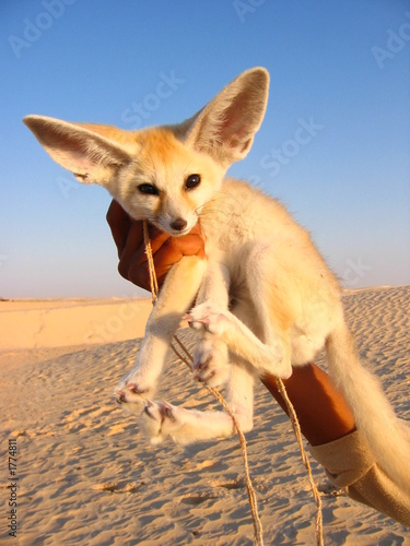 animali del deserto Tablou Canvas