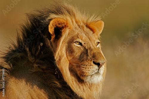 Fotobehang Leeuw african lion